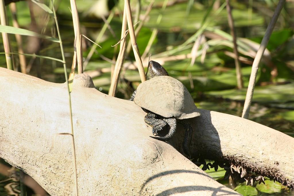 Блатна костенурка